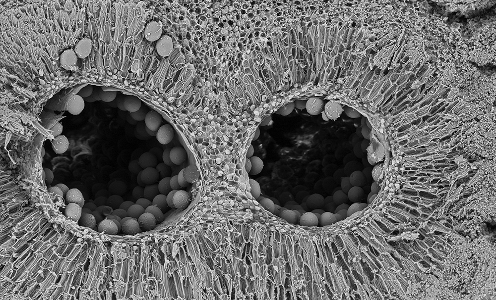 Cross section, showing the locule (cavity where the pollen is located)